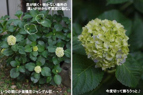 6.6紫陽花ジャングル.jpg